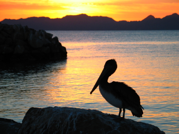 MM - Baja - Pelican at Sunrise - Small