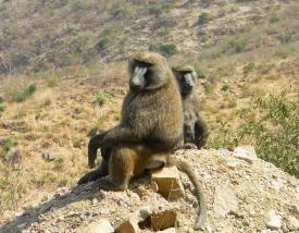 1750 Gelada Baboons