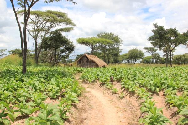 Tobacco farm
