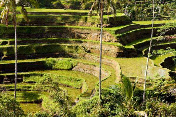 rice-paddies,-Bali