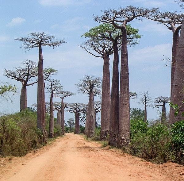 BaobabAlley