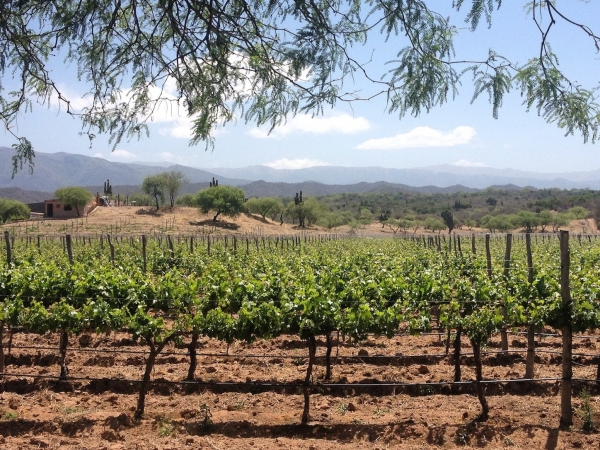 Vineyard outside of Cafayate
