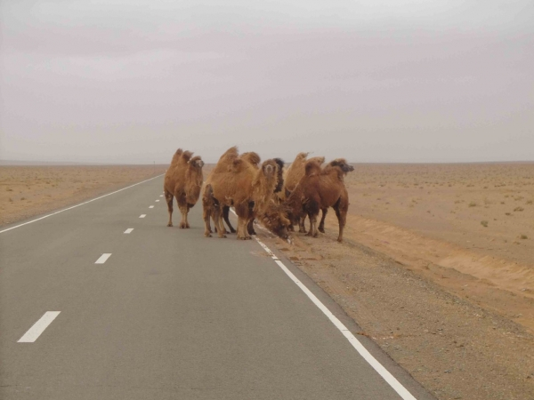 A difficult to miss wildlife sighting in Mongolia