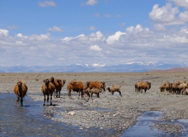 camels at a river crossing in mongolia