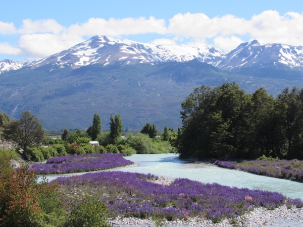 turquoise river and purple lupines