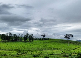 Tea Plantaions Uganda
