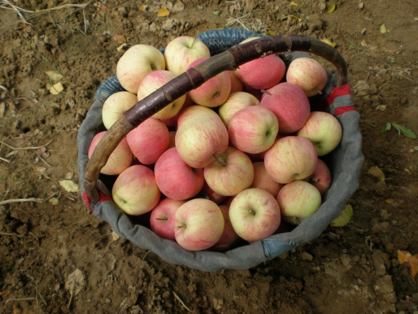 China grows  heaps of delicious apples